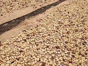 Kaffeebohnen Trocknungsprozess