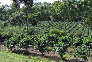 Kaffeebäume Costa Rica