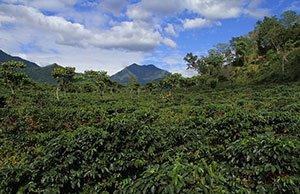 Kaffeepflanzen Guatemala